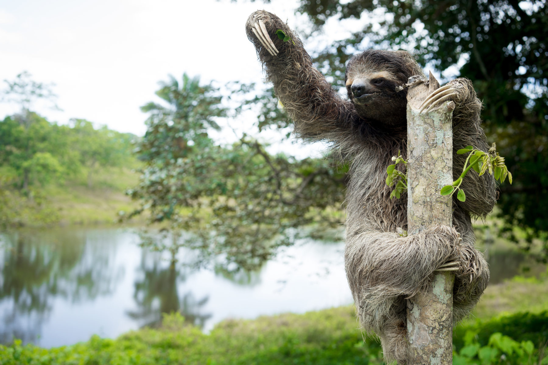 A three toed sloth sits on top of a fence post in the jungle of Panama.