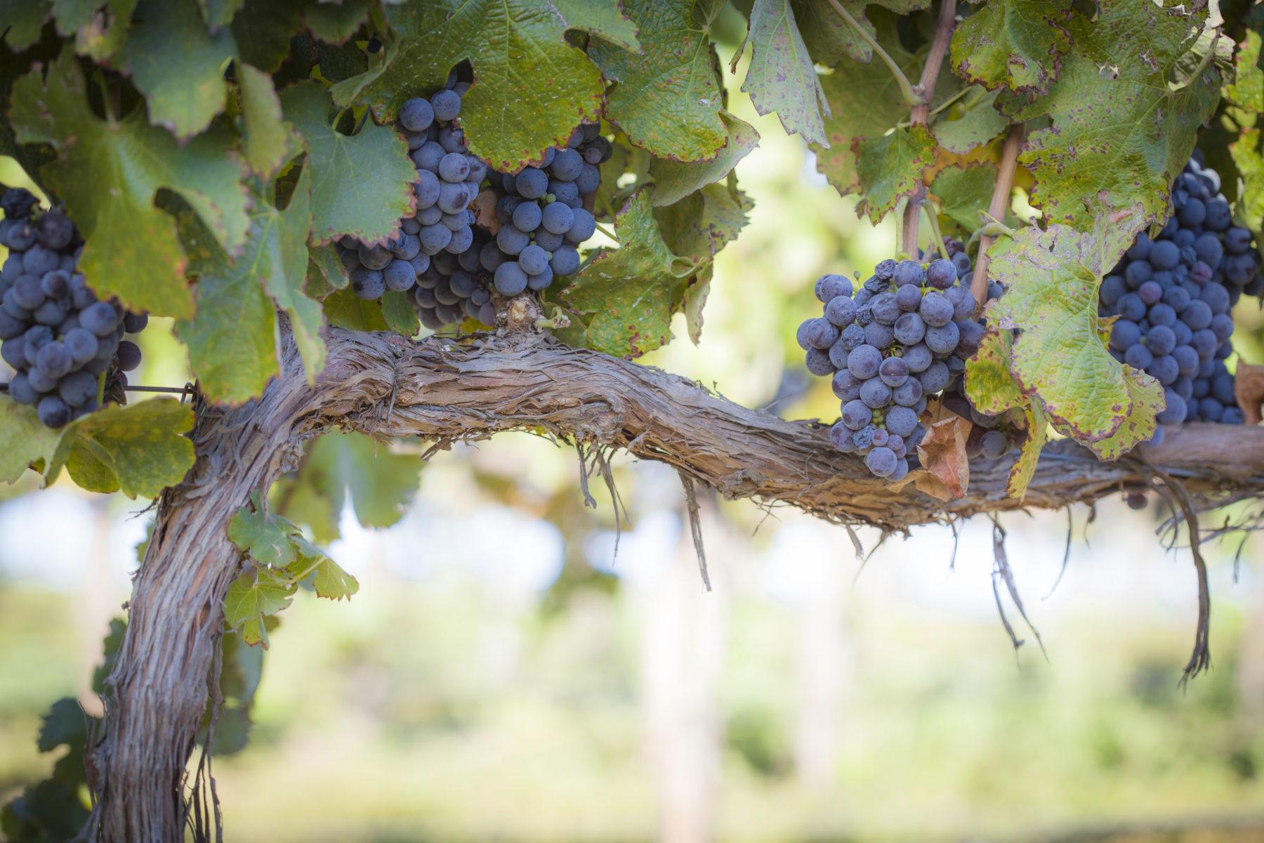 ist_157033085_blog_ca_temecula_grapevine
