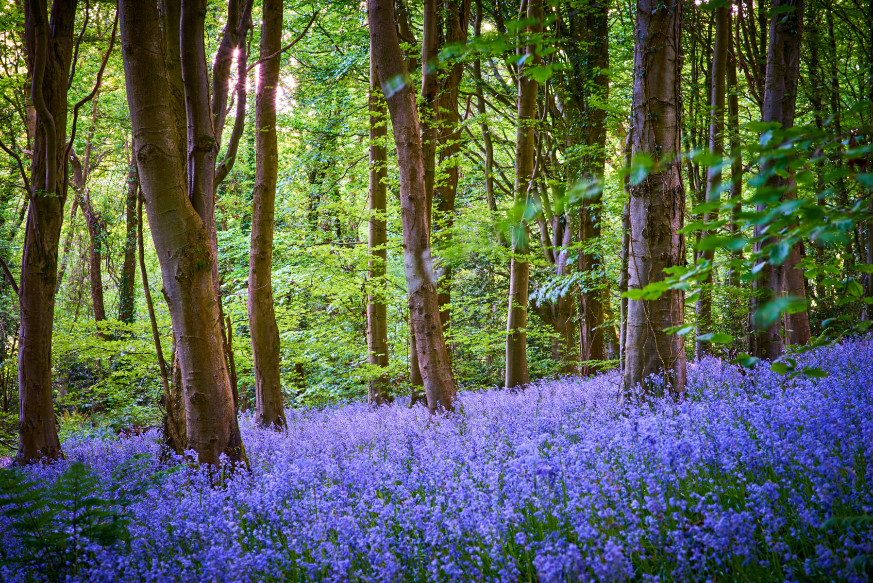 A forest of English bluebells