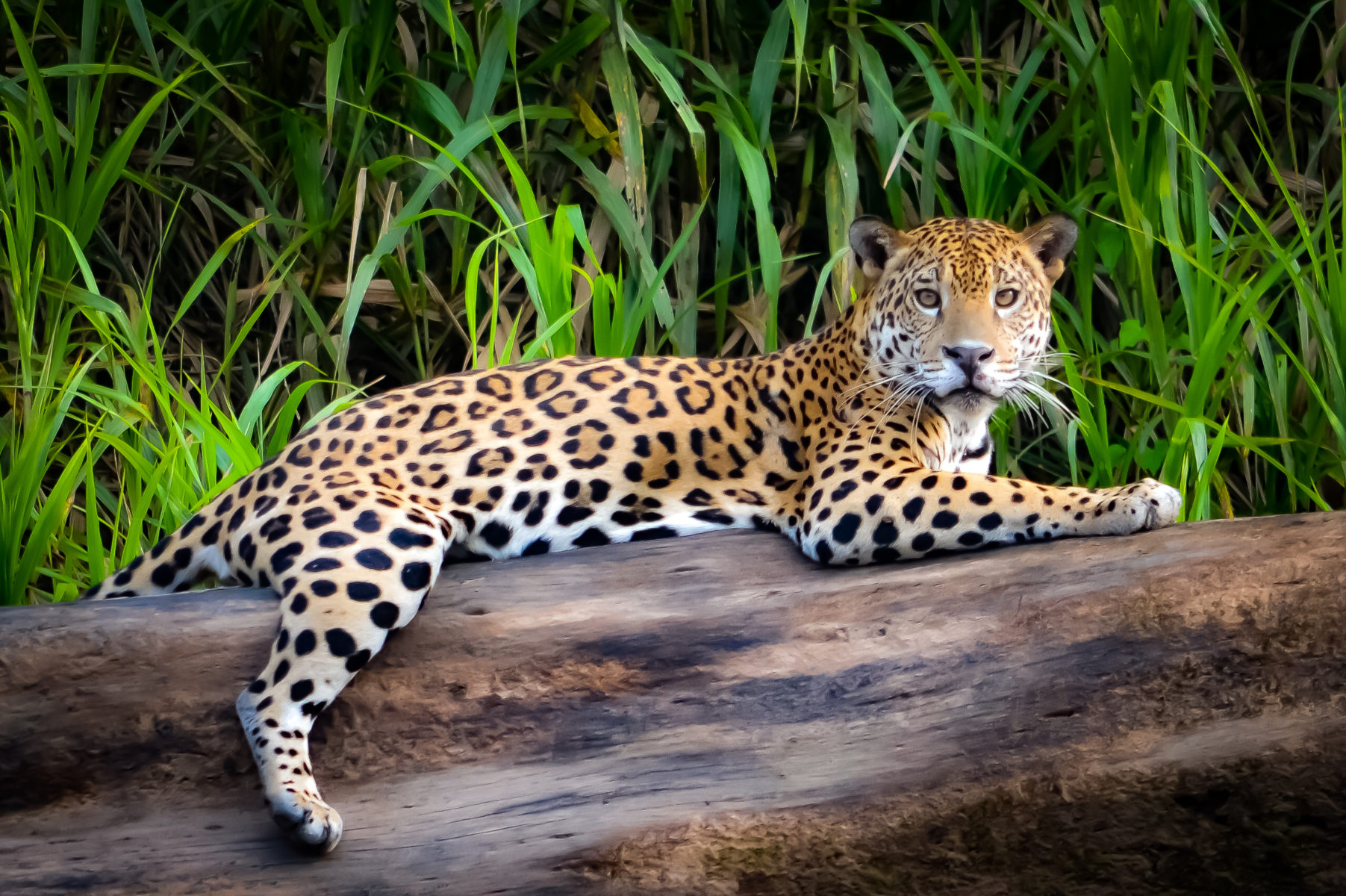 Leopard in Manu National Park