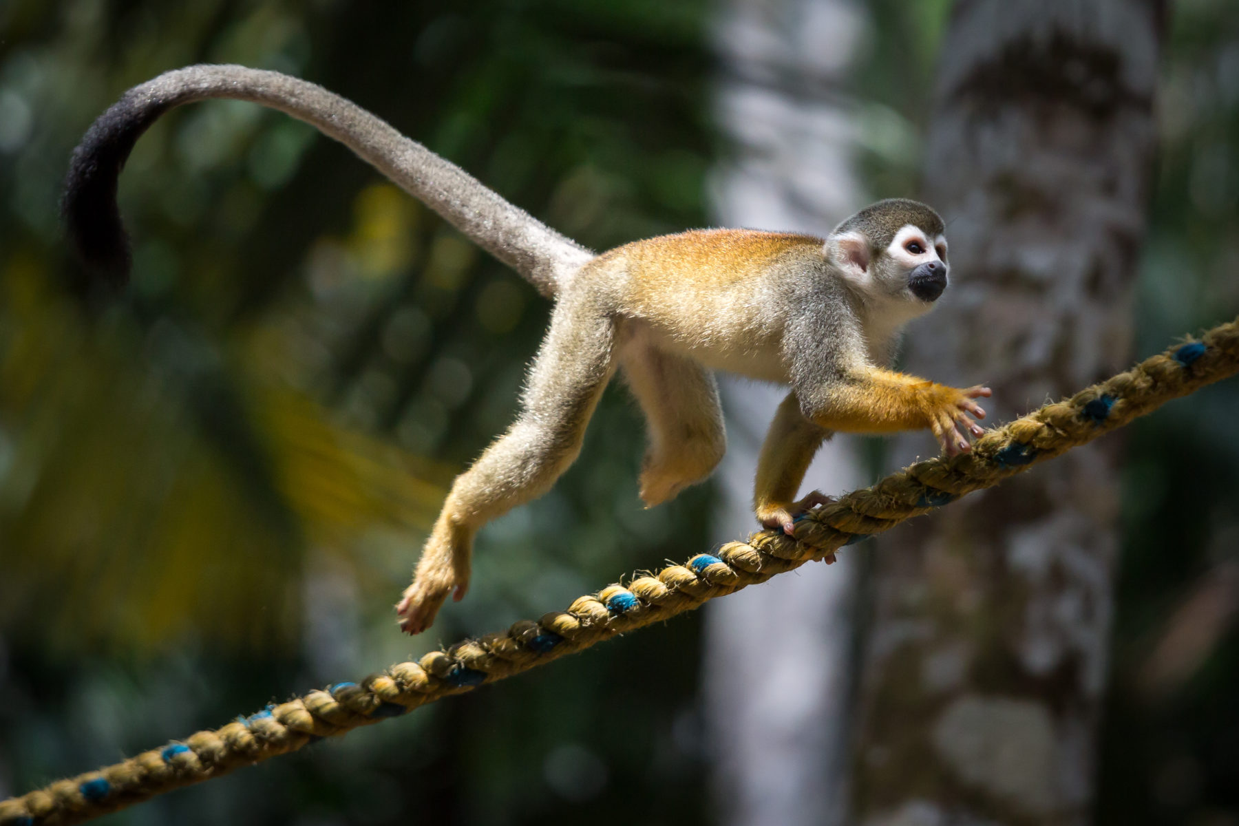 Playful monkey in the Amazon Rainforest