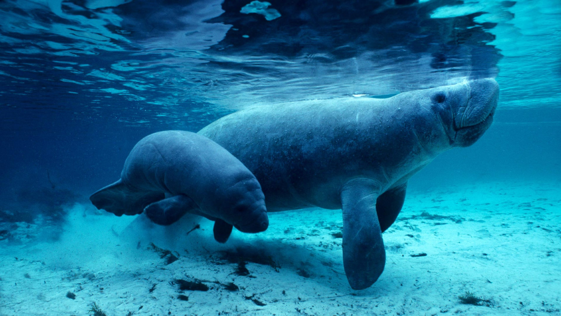 Manatees swimming in crystal-clear water