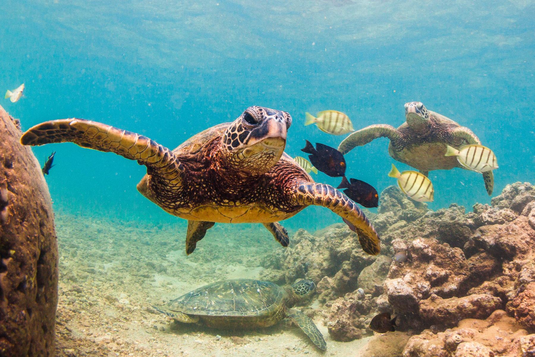 Green sea turtles on O'ahu