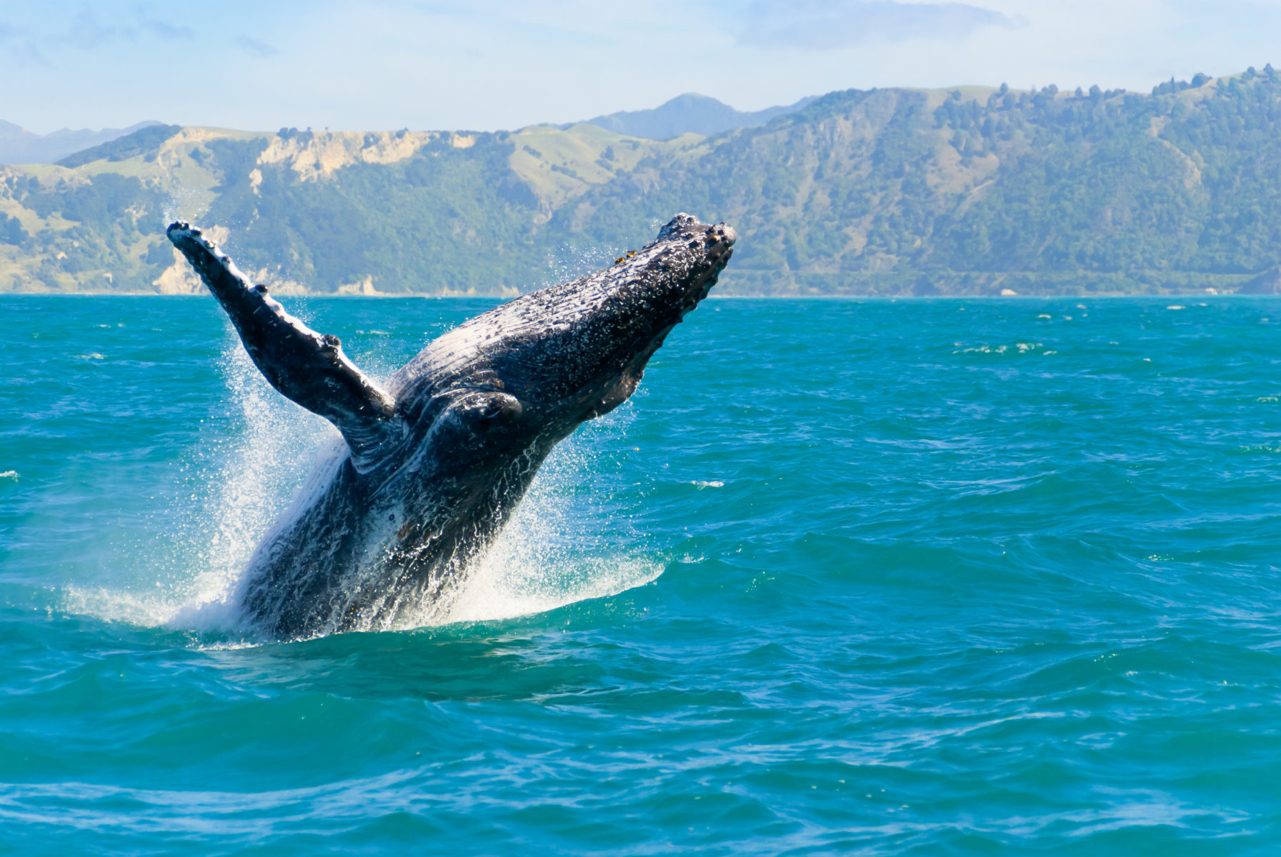 A large humpback whale breaching on the coast of Oahu