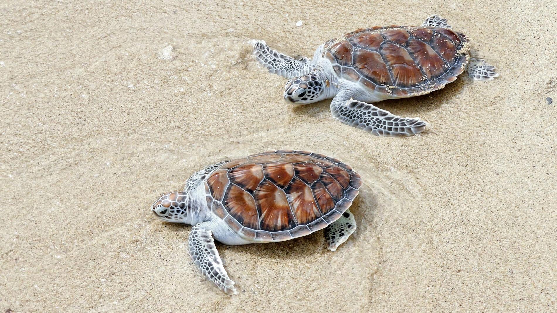 Baby sea turtles on the beach in Phuket, Thailand